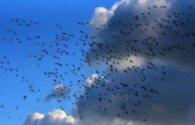 migrazione degli uccelli